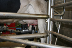 Automated milking in action