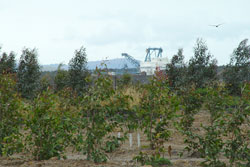 Experimental tree plantings at a mine near Ravensworth in the Upper Hunter Valley