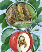 EH Zeck's illustration of a codling moth