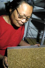 In the Elizabeth Macarthur Agricultural Institute fruit fly factory, Laura Jiang checks pupae before they are sent for irradiation.