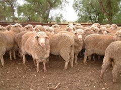 Merinos from the QPLU$ flock at the NSW Department of Primary Industries Trangie Agricultural Research Station.
