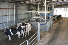 Cows waiting at the automated milking system at Camden
