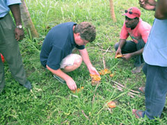 DPI 's Andrew Jessup and workers from Tamiloa farm in Lae inspecting fallen papaya for fruit fly.