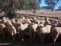 QPLU$ sheep show high return from careful breeding of existing flocks.