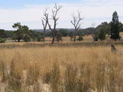 Perennial pastures have reduced recharge at Boorowa, on the NSW south-west slopes.