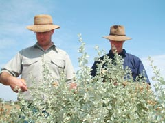 NSW Department of Primary Industries research agronomist Richard Maccallum and Condobolin Agricultural Research and Advisory Station manager Dean Patton take measurements of old man saltbush plants as part of the Grain & Graze trial.